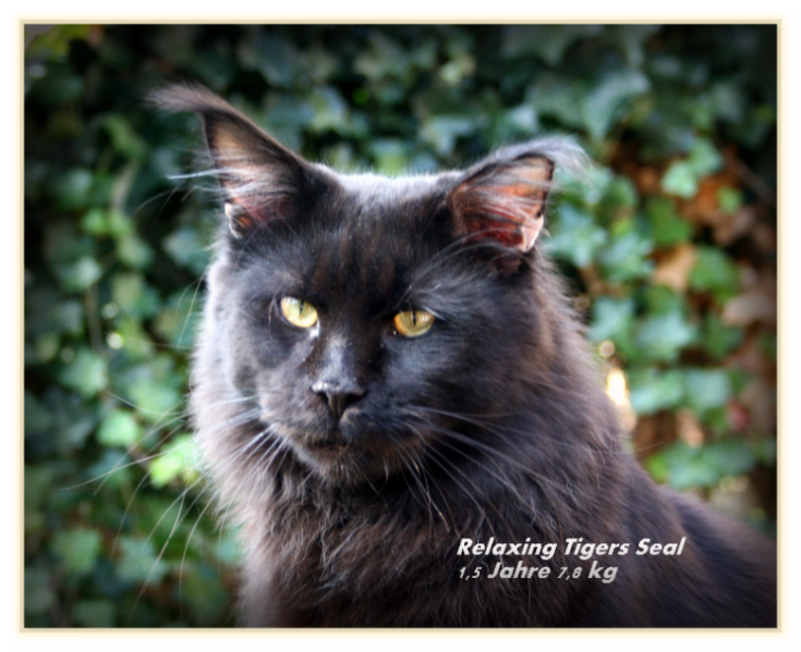 Relaxing Tiger Seal - Maine-Coon Katze, Colossals  Relaxing Tiger ...